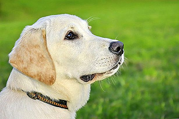 Over Labrador Retrievers