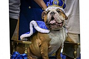 Voormalig Rescue Bully Crowned 37e Annual Beautiful Bulldog