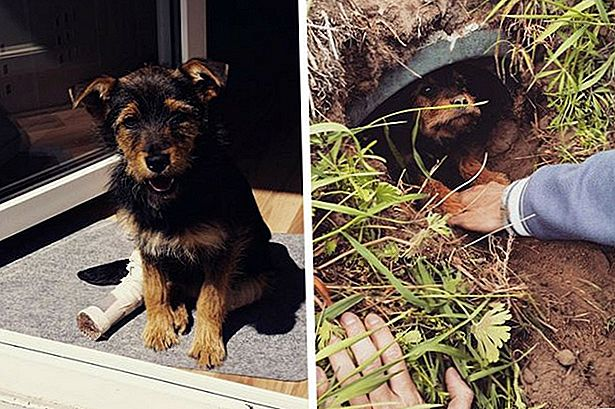 Dit Peg-Legged Pup Is The Precious Poster Dog For Survival