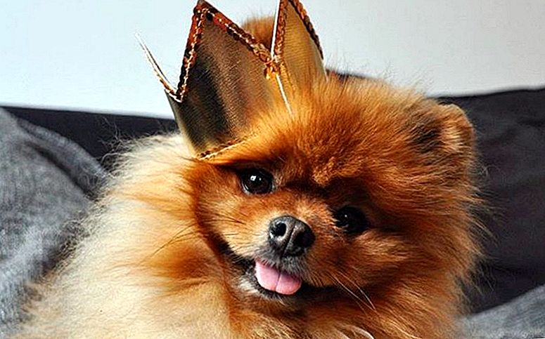 22 Things Only Pomeranian Parents Understand