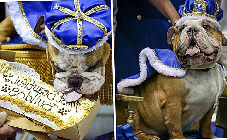 "Dog Found Wandering The Streets wint ""Most Beautiful Bulldog"" -wedstrijd"